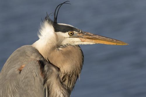 Great Blue Heron Portrait 7.5 8.5 8 24 DP David Seldon  Nature Master