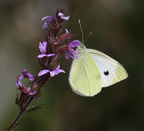 Cabbage White Butterfly  8 8 7.5 23.5 Dan Copeland  Nature Master