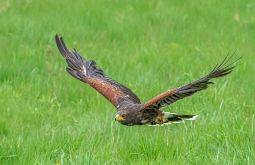 Harris Hawk 7.5 7.5 7 22 Don Poulton  Nature Master