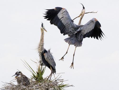 Heron Nest 7.5 9 8.5 25 HM DP David Seldon  Nature Master