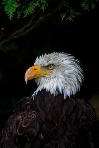 Bald Eagle  7 7.5 7.5 22 SPP Marcus Kelly  Nature Silver