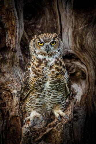 Great Horned Owl 7.5 7.5 8.5 23.5 SPP Marcus Kelly  Nature Silver