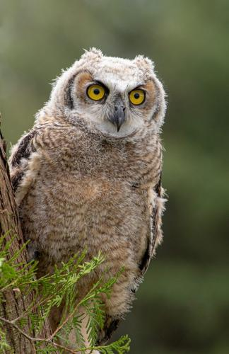 Juvenile Great Horned Owl 7.5 8.5 8 24 GPP Terry Ross-Poulton  Nature Gold