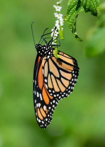 Monarch Butterfly 7 7.5 7 21.5 Herb McClelland  Nature Gold