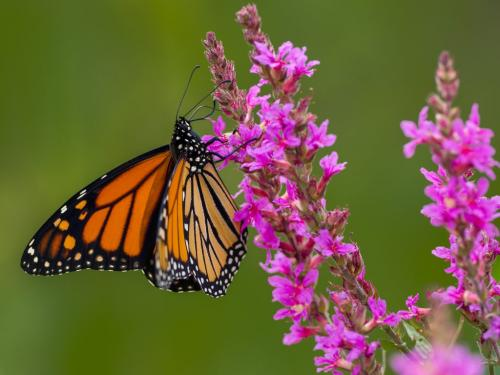 Monarch Butterfly 7 6.5 7 20.5 Brian Floyd  Nature Gold