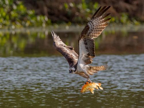 Osprey With Catch 8 7.5 9 24.5 HM GPP Brian Floyd  Nature Gold