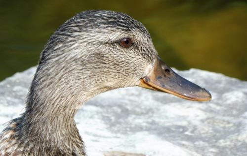 Detail Female Mallard Duck 7 6 6.5 19.5 Roy Oldfield  Nature Gold