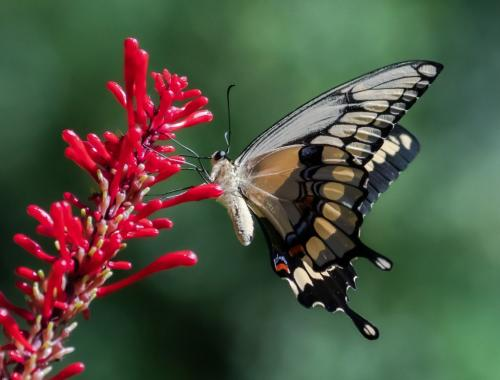 Palmedes Swallowtail Butterfly 7 7 8.5 22.5 Herb McClelland  Nature Gold