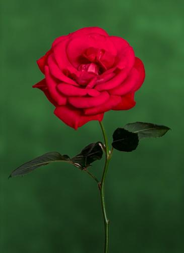 Red Rose 7.5 8 7 22.5 Terry Ross-Poulton  Pictorial Gold