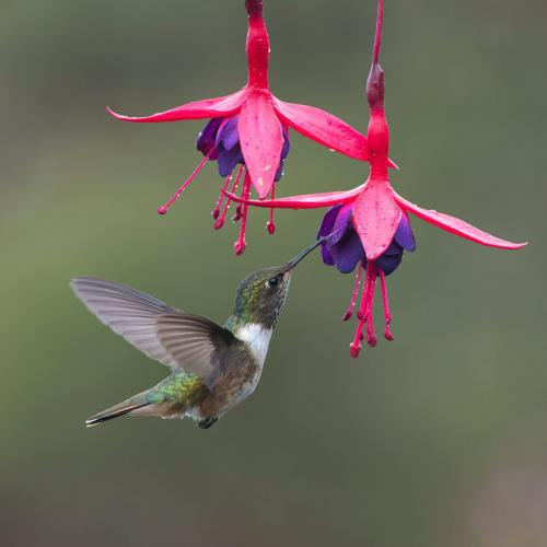 Scintillant Hummingbird 9.5 8 9 26.5 TC GPP Judy Boufford  Nature Gold