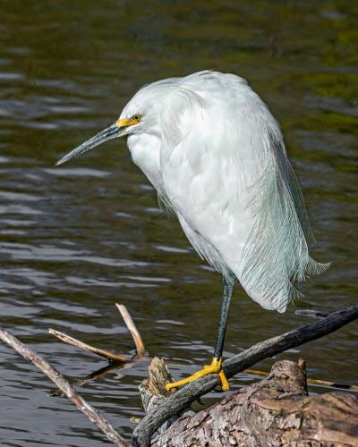Snowy Egret 7 7 7.5 21.5 Geoff Dunn  Nature Gold