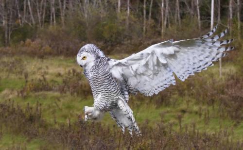 Snowy Owl 7.5 7 8 22.5 Pat Wintemute  Nature Gold