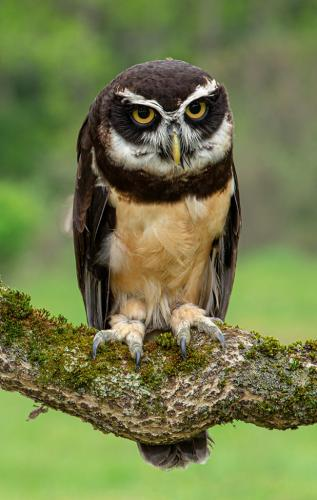Spectacled Owl 7.5 8 8.5 24 GPP Terry Ross-Poulton  Nature Gold