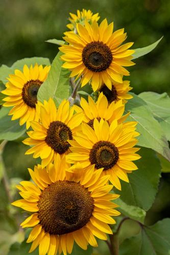 Sunflowers 7 8 6.5 21.5 Terry Ross-Poulton  Pictorial Gold