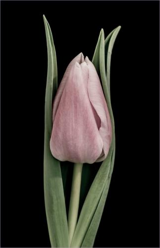 Tall Tulip 8 7.5 8.5 24 HM SPP Janet McNally  Pictorial Silver