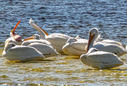 White Pelican Group  Nature Silver