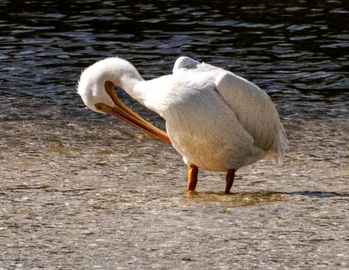White Pelican  Nature Silver