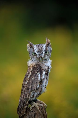 Eastern Screech Owl 7 7.5 7.5 22 SPP Marcus Kelly  Nature Silver